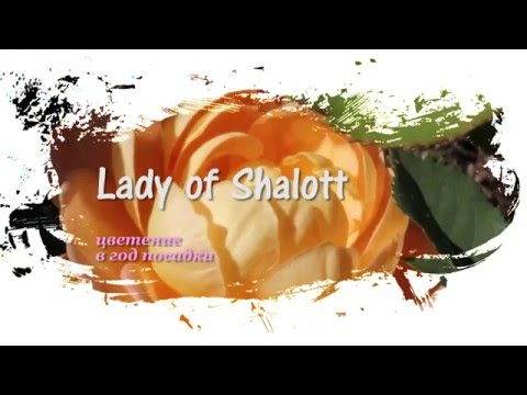 Lady of Shalott (Austin)