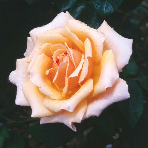 The Caron Keating Rose