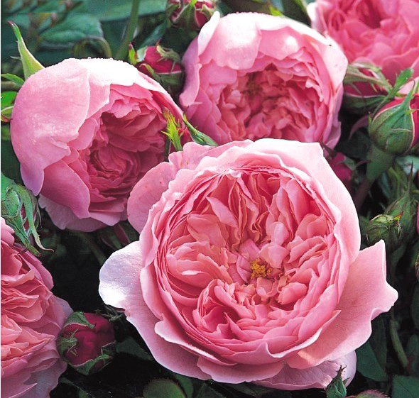 The Alnwick Rose \ Алнвик Роуз