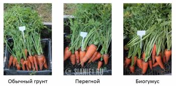 морковь урожай