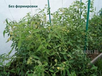 томаты без формировки